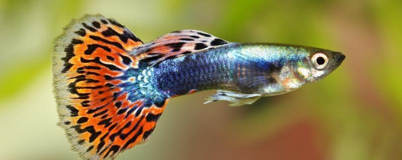 孔雀鱼为什么咬金鱼,适合与金鱼一起养吗
