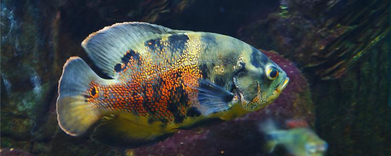 60缸养地图鱼能长到多大,怎么养长得大