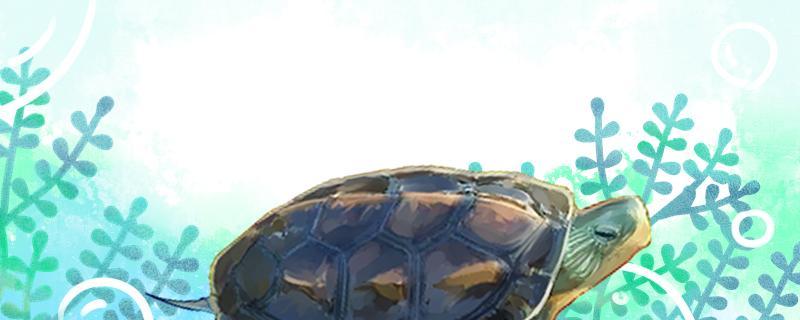 中华花龟是不是国家保护动物,可以人工饲养吗
