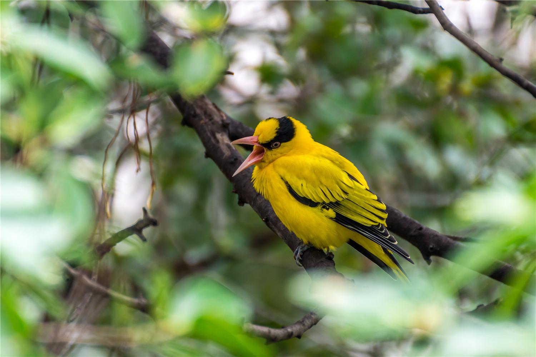 黄鹂鸟吃什么饲料