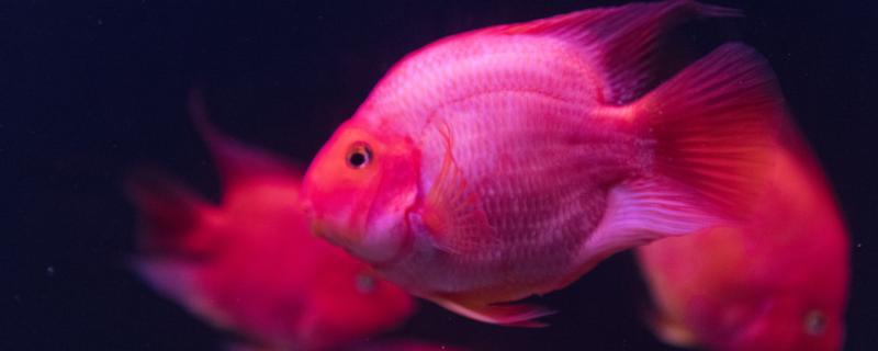 跟鹦鹉鱼的最佳混养鱼,混养注意事项