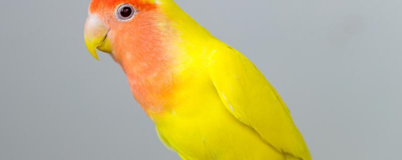 黄桃鹦鹉怎么分辨公母