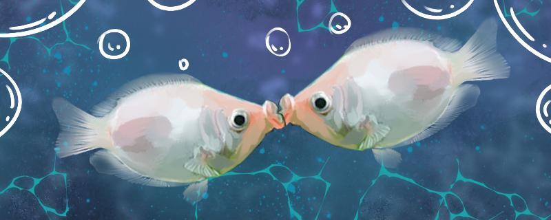 接吻鱼吃黑壳虾吗,黑壳虾有毒吗