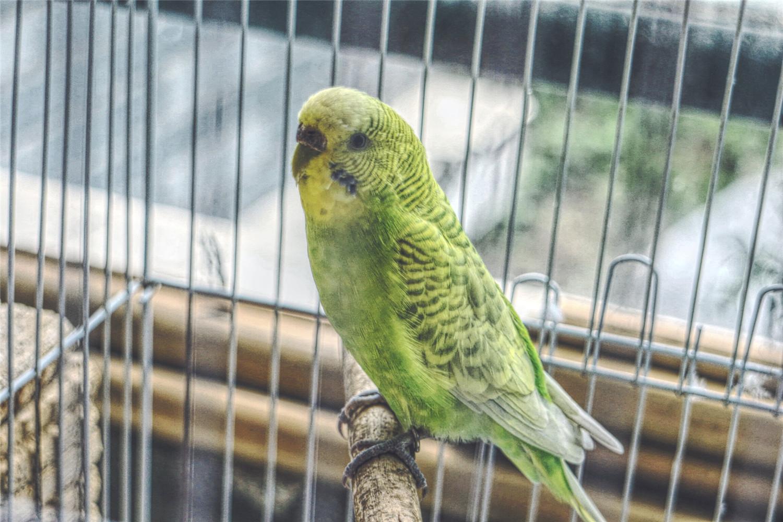 一个笼子可以养几只虎皮鹦鹉