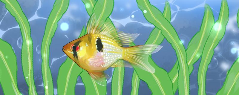 荷兰凤凰鱼产卵前兆,产卵的环境条件