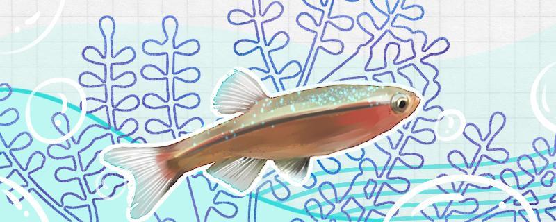 白云金丝鱼吃黑壳虾吗,还能吃什么