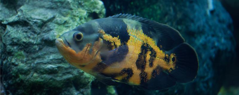 地图鱼长得快吗,一年能长多大