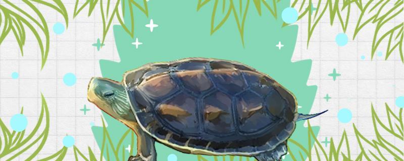 中华花龟水深多少合适,用什么水养