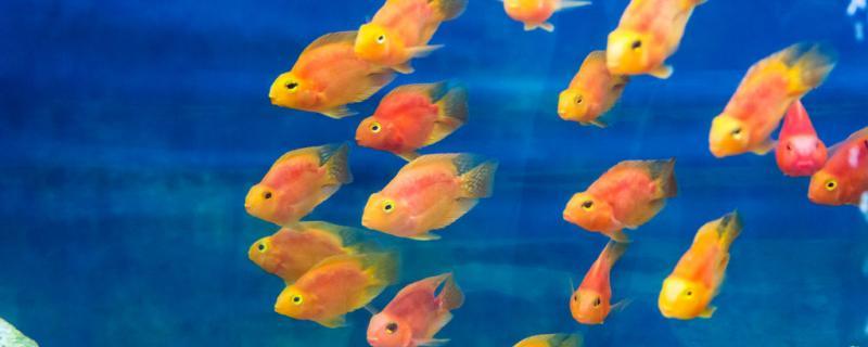 鹦鹉鱼聚堆什么原因,该怎么处理