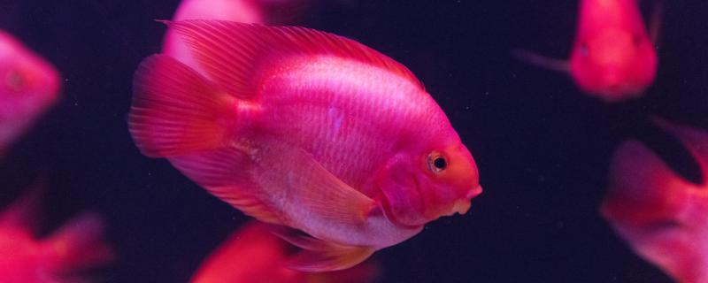 红鹦鹉鱼吃什么饲料最好,吃什么颜色鲜艳