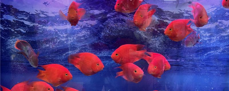 鹦鹉鱼怕人老躲在鱼缸角落怎么办,怎么让鹦鹉鱼快速适应环境