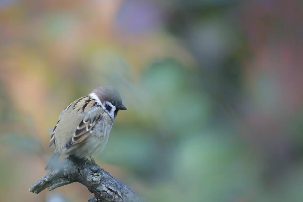 麻雀幼鸟怎么喂养