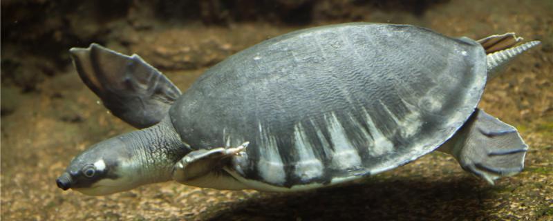 猪鼻龟是鳖类还是龟类,适合生活在什么环境中