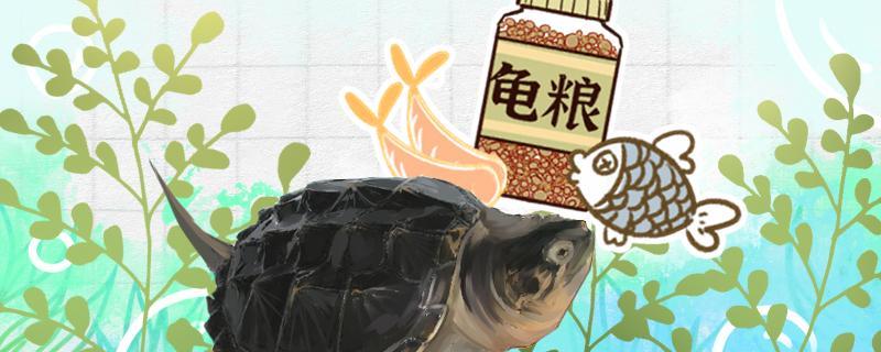 鳄龟吃什么长得快,每天吃几顿