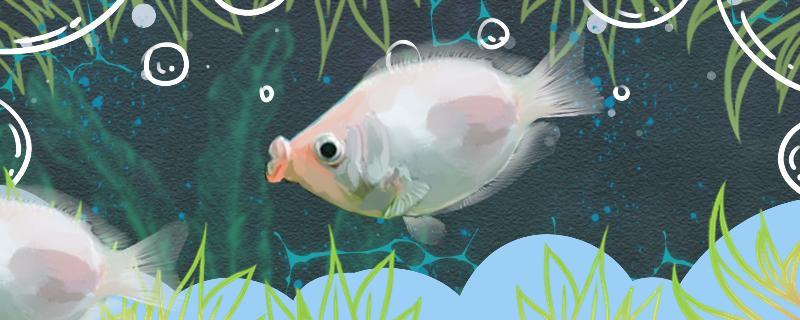 接吻鱼吃啥,每天喂几次