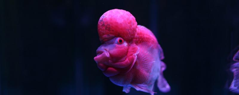 罗汉鱼混养影响起头吗,吃什么可以加快起头