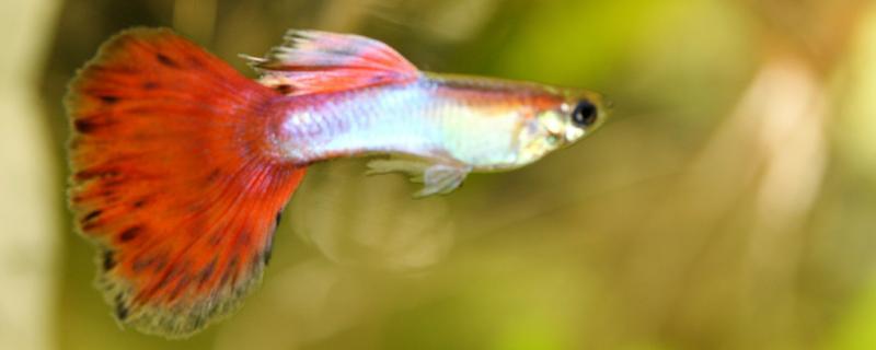 孔雀鱼浮在水面是不是要死了,浮在水面怎么办