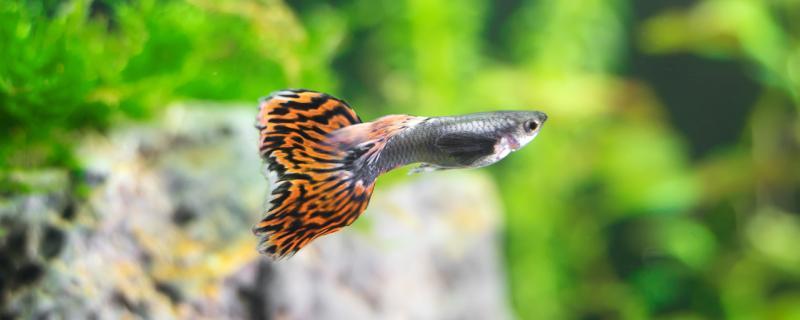 孔雀鱼一公几母搭配,怎么繁殖