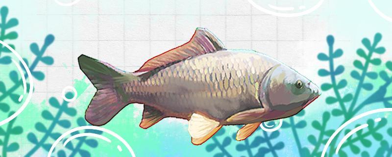 大水面钓鲤鱼用什么饵,钓远还是钓近