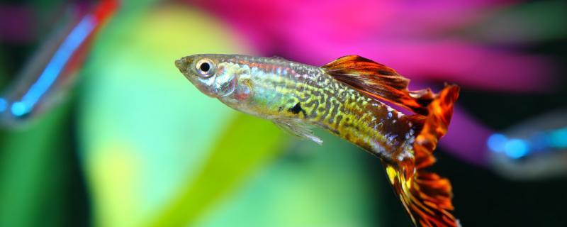 孔雀鱼死胎是怎么回事,怎么避免死胎