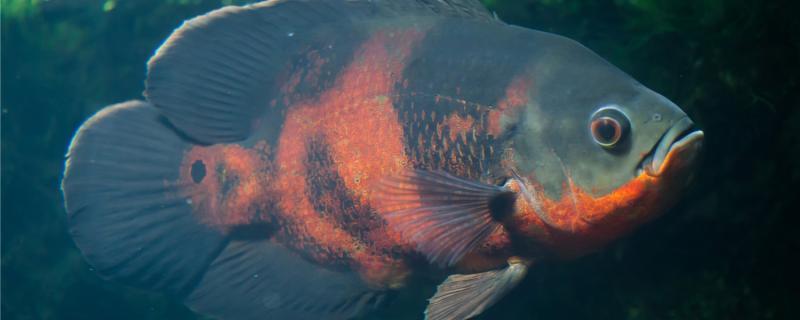 地图鱼不打氧能撑几个小时,怎么打氧