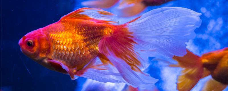 金鱼吃热带鱼吗,能和热带鱼一起养吗