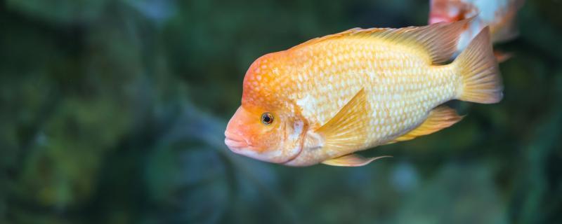 麒麟鹦鹉鱼可以和什么鱼混养,混养需要注意什么