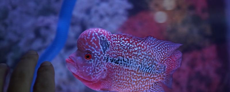 罗汉鱼35度水温能生存吗,什么温度长得更好