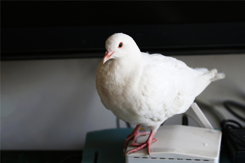 野鸽子幼鸟怎么喂养