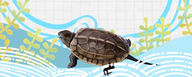 草龟吃什么食物最好,每天喂几次最好
