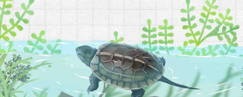 草龟水养要多深,用什么水