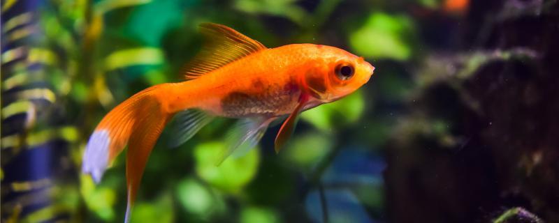 金鱼越大越好养吗,怎么养