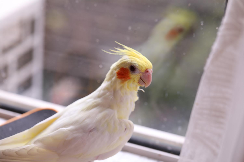 玄凤鹦鹉的寿命