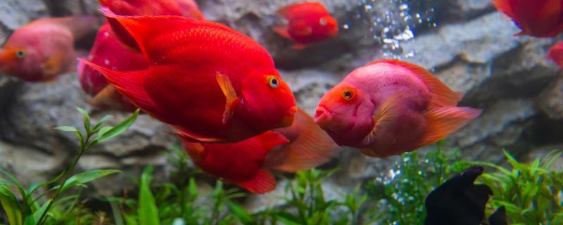 鹦鹉鱼可以和地图鱼混养吗,还可以和什么鱼混养