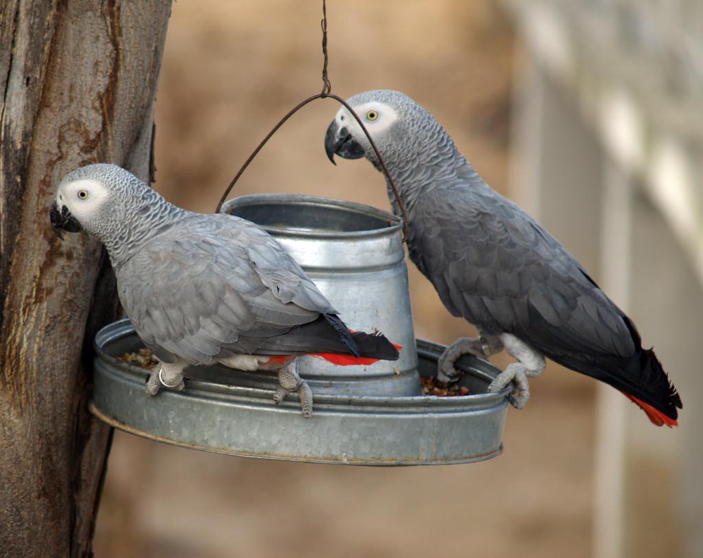 鹦鹉孵蛋注意事项