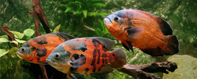 地图鱼鹦鹉鱼混养技巧,混养注意事项