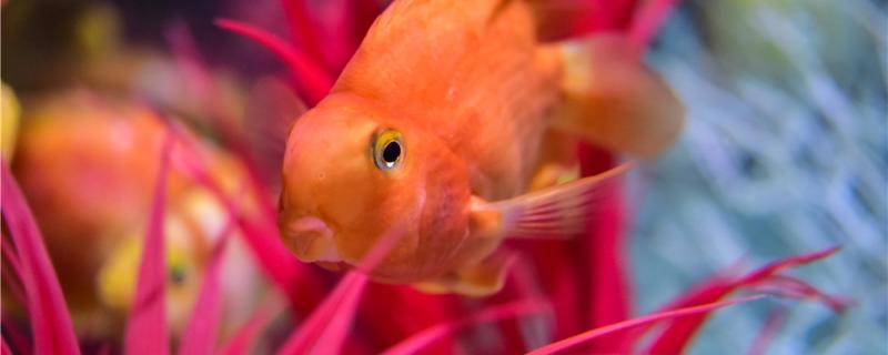 鹦鹉鱼打架会不会打死,怎么才能不打架