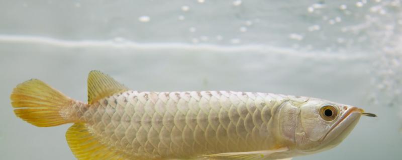 龙鱼没氧气可以活多久,不换水可以活多久