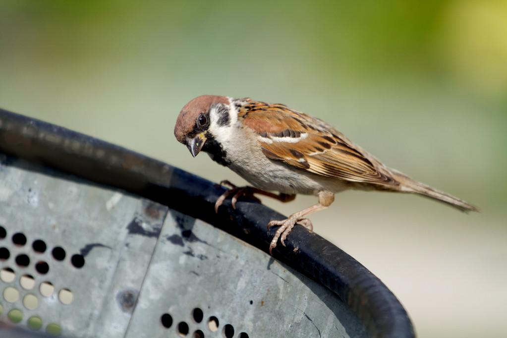 麻雀幼鸟吃什么食物能活