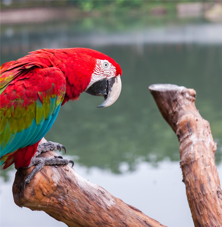 鹦鹉吃什么水果蔬菜