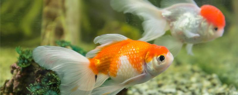 金鱼一周喂一次可以吗,怎么喂合适