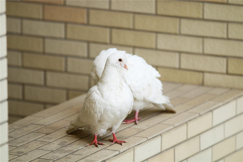买的一个月幼鸽养多久开家