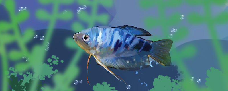 曼龙鱼会攻击孔雀鱼吗,曼龙鱼能和孔雀鱼混养吗