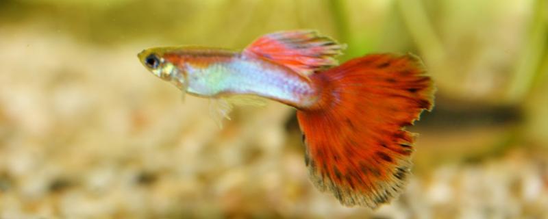 孔雀鱼为什么老死母鱼,怎么养不容易死