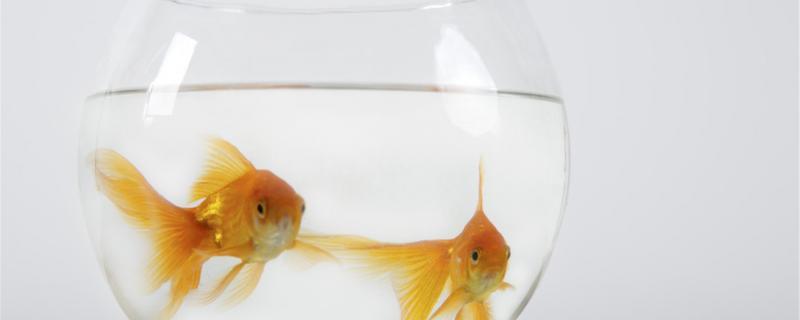 金鱼在太阳下暴晒会死吗,应该怎么饲养