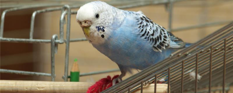 白色鹦鹉是什么品种