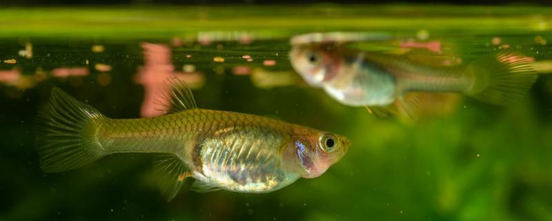 玛丽鱼多久生小鱼,怎么照顾新生的小鱼