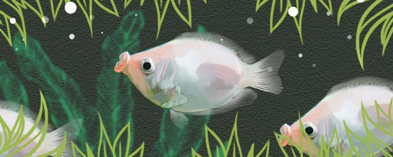 接吻鱼吃水藻吗,食量大吗