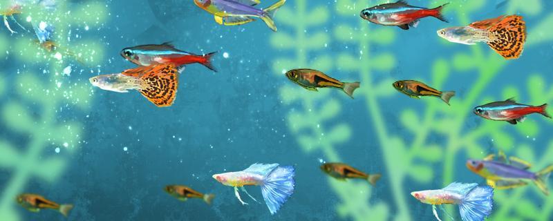 金牡丹鱼和孔雀鱼能一起养么,能杂交吗