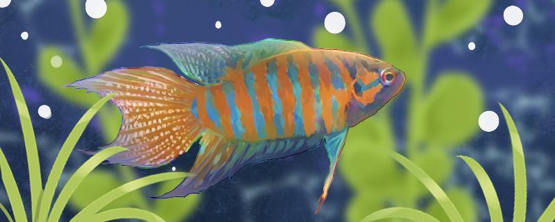 中国斗鱼吃什么长最快,怎么养出颜色